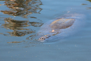 Many manatees display scars from prop strikes
