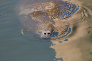 Manatee Up for Air