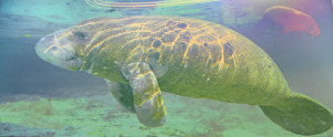 Manatee in Tampa Bay